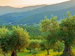 olive trees in the proprty